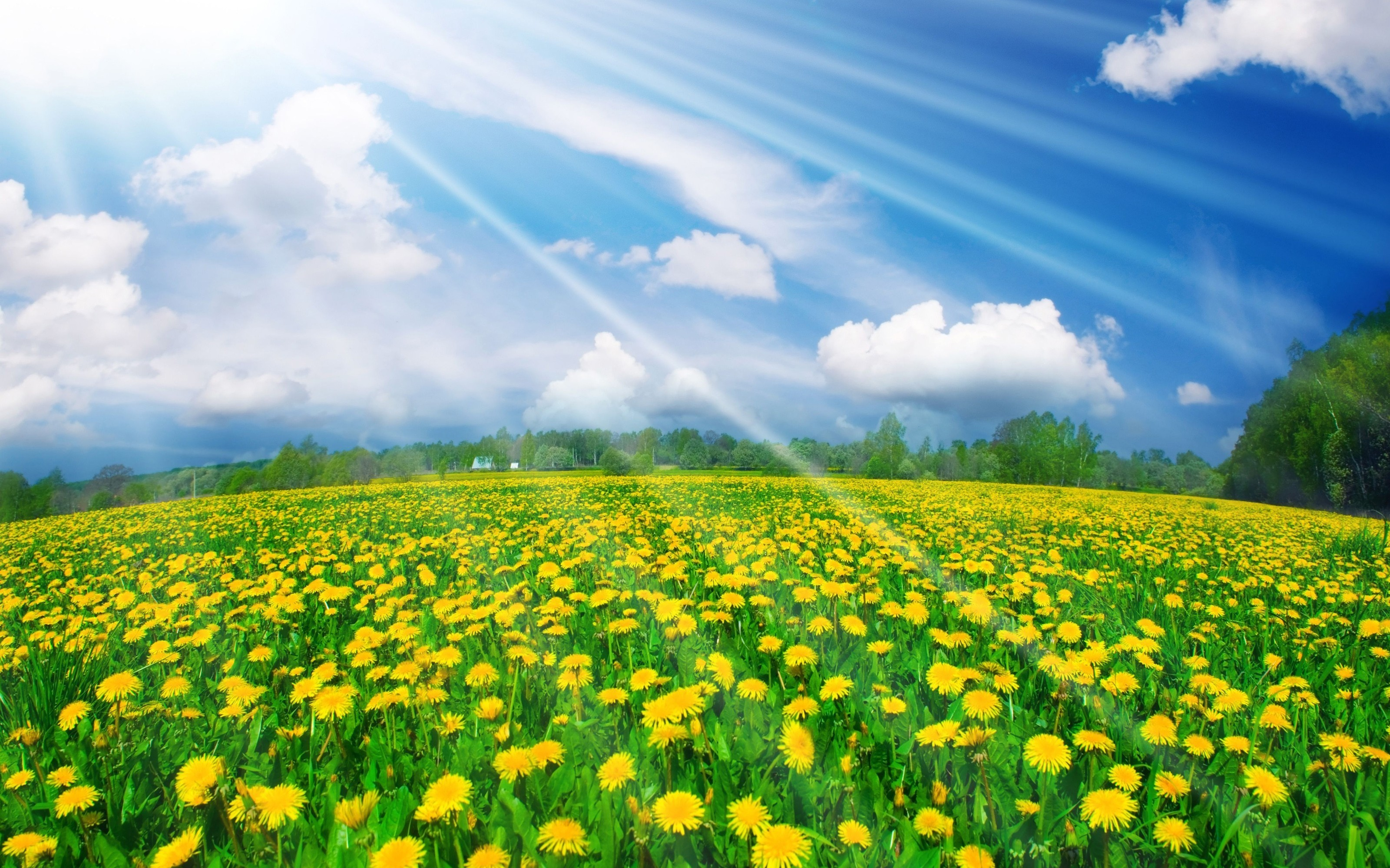 Dandelion field in summer wallpapers and images   wallpapers pictures 3200x2000