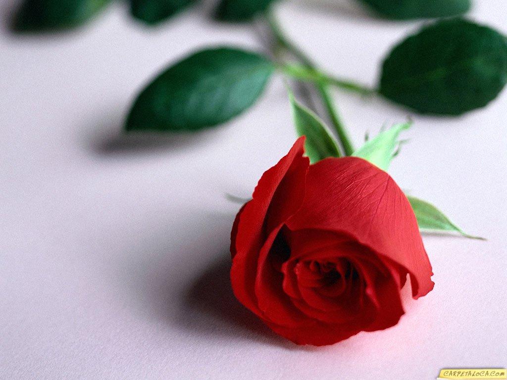 DIGALERIcom 10 Wallpaper Bunga Cantik   Gambar Bunga   Foto Bunga 1024x768