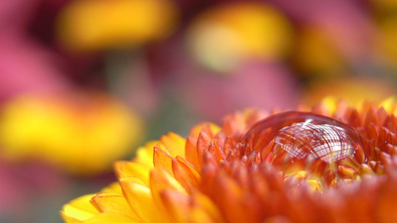 drop flower macro photography Wallpapers   1366x768 wallpaper download 1366x768