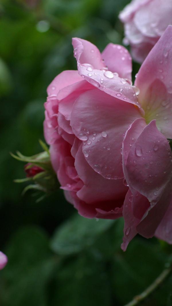 Roses iPhone 5s Wallpaper 600x1065