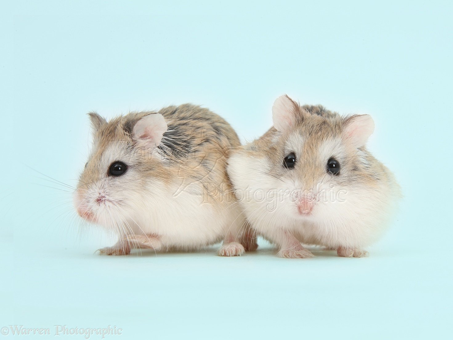 Roborovski Hamsters on blue background photo WP41652 1471x1104