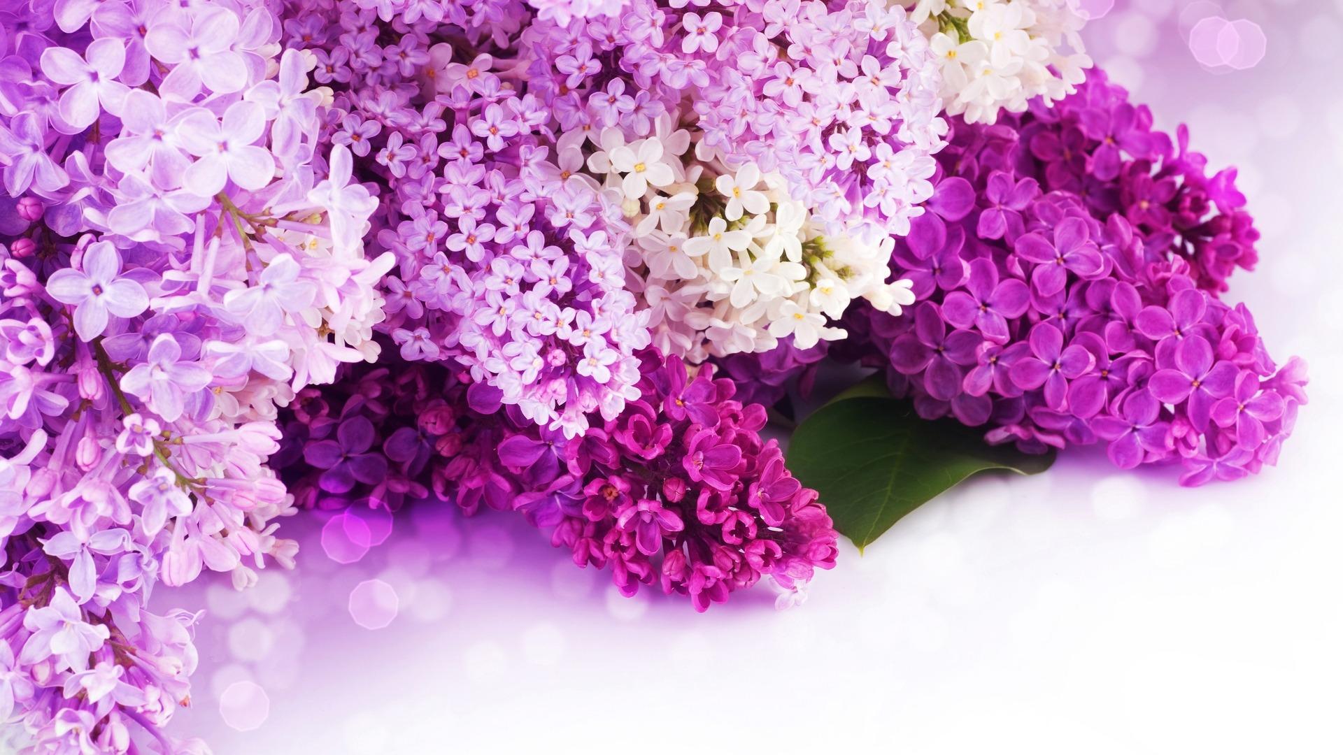 Purple Lilac Wallpaper 1920x1080