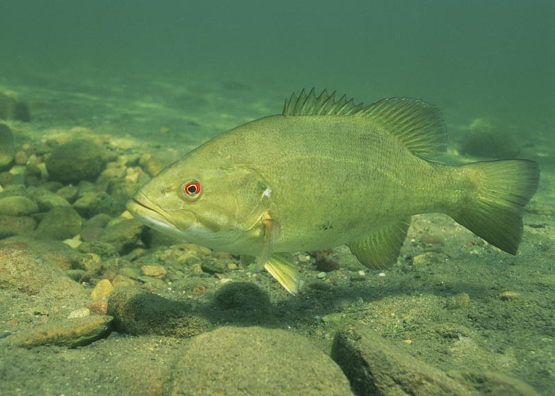 com   Small Mouth Bass Pictures Information Wallpaper Photos 800x571