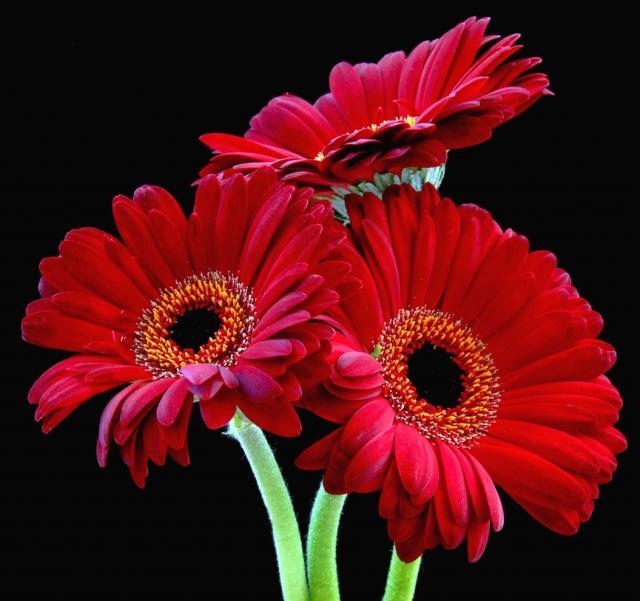 flowers for flower lovers Red daisy flowers desktop wallpapers 640x601