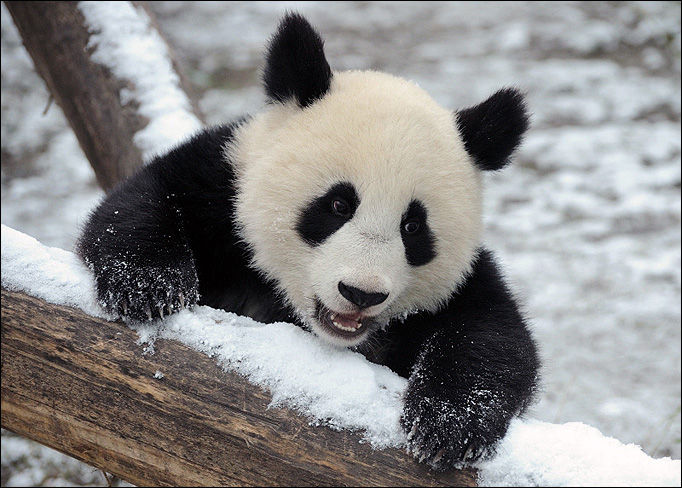 Cute Baby Panda 012 Wallpaper 682 X 488 274929 HD Wallpaper 682x488