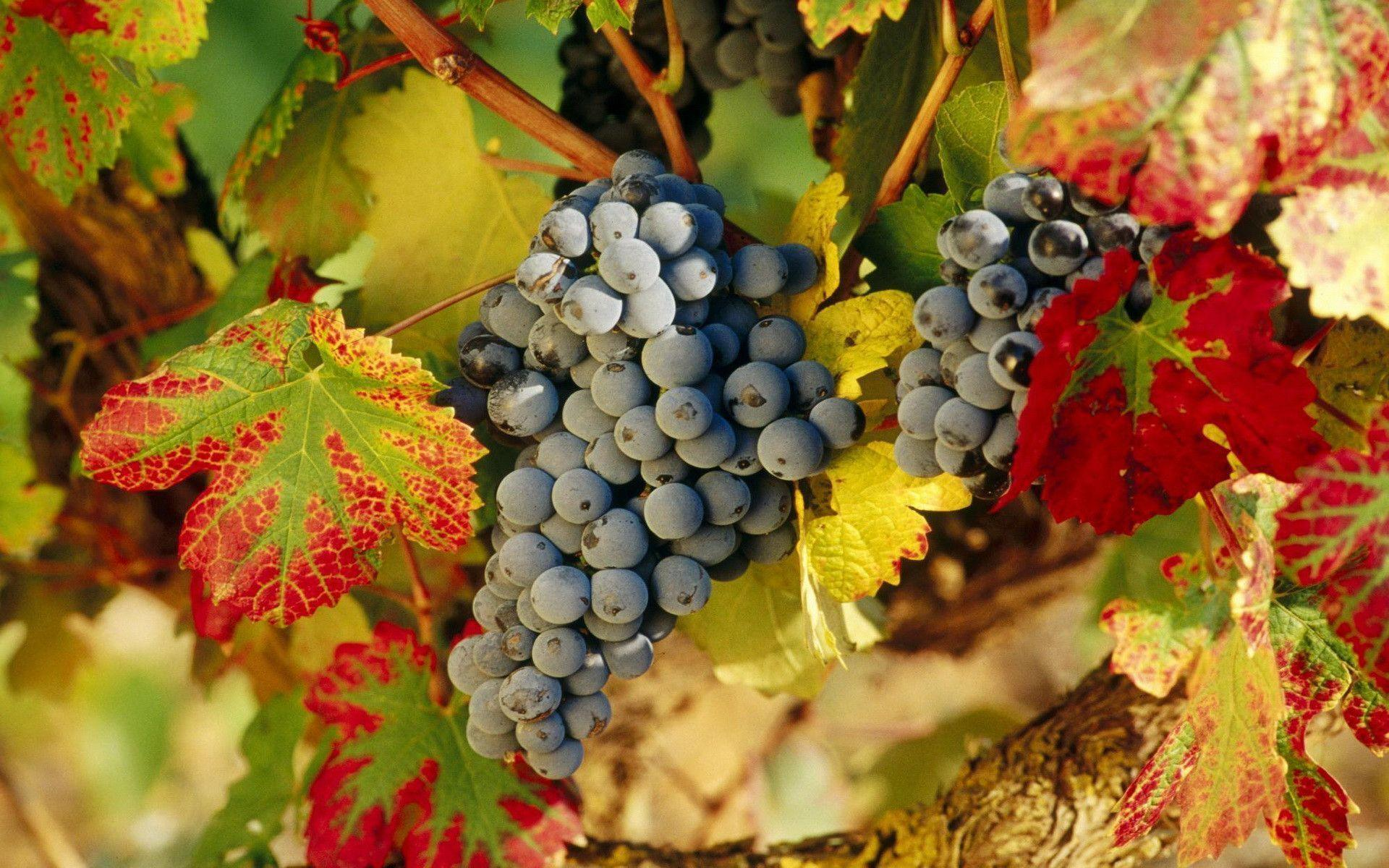 Wallpapers Grapes 1920x1200