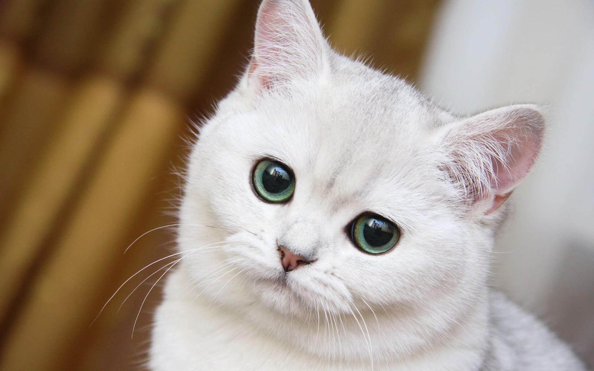 72 White Cat Wallpaper On Wallpapersafari
