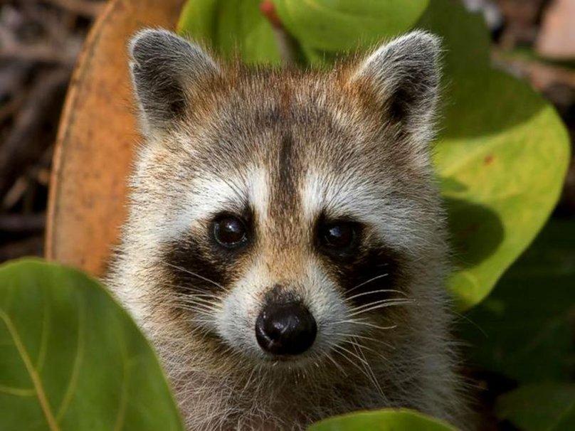 Baby Raccoon Wallpaper Peekaboo Raccoon Wallpaper 808x606