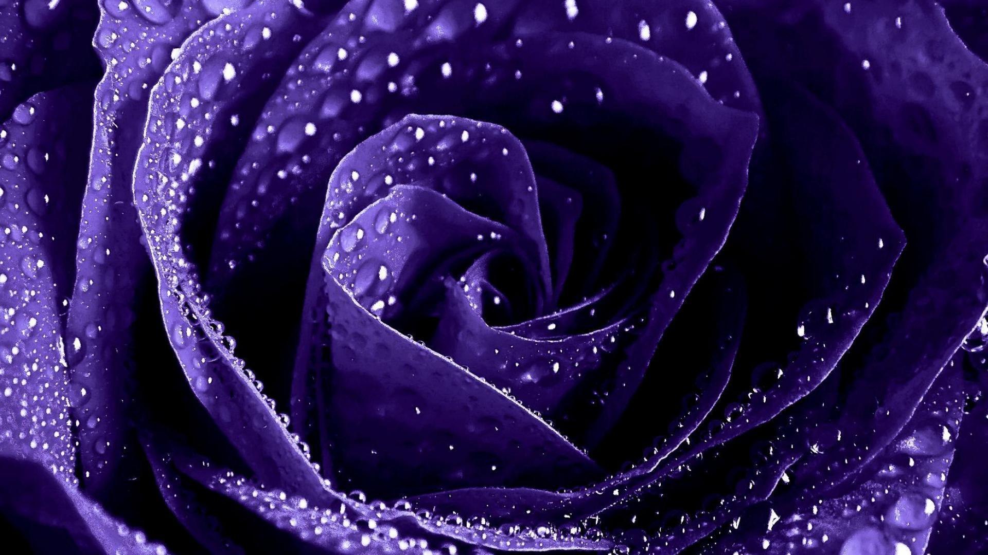 purple roses wallpaper  wallpapersafari, Beautiful flower