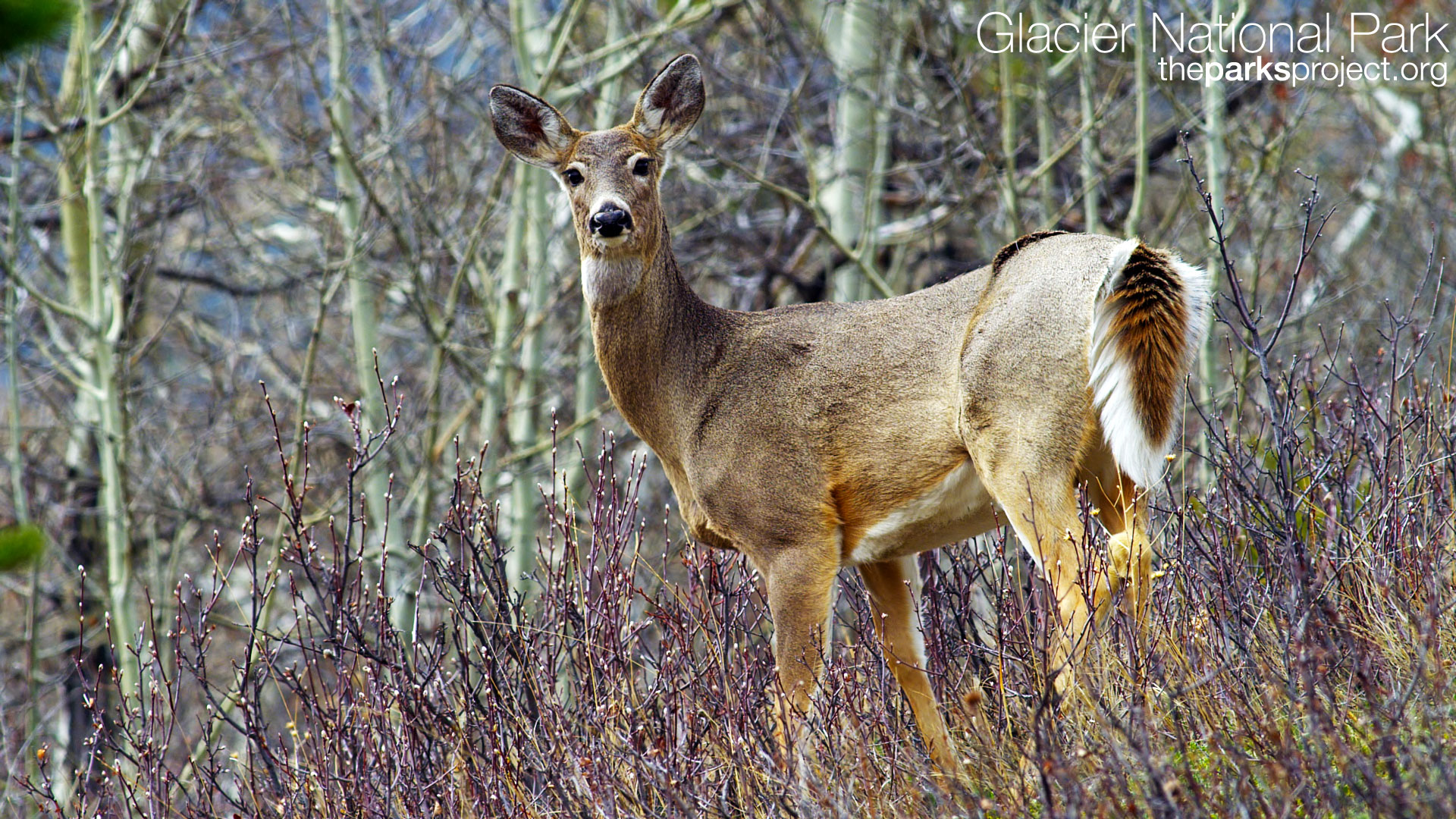 Whitetail Deer Screensavers and Wallpaper 1920x1080