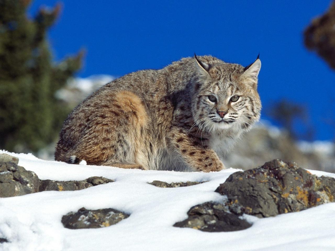 Bobcat [Desktop wallpaper 1280x960] Animal Desktop Wps Pinterest 1280x960