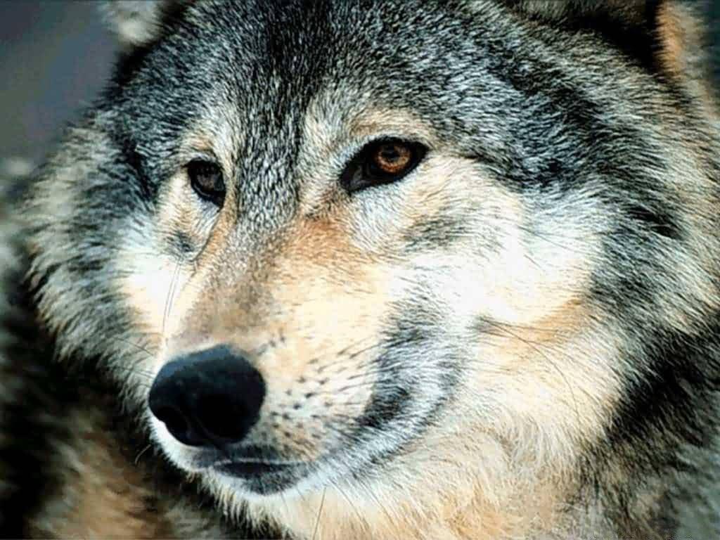 Wolves wolves 7896534 1024 768jpg 1024x768