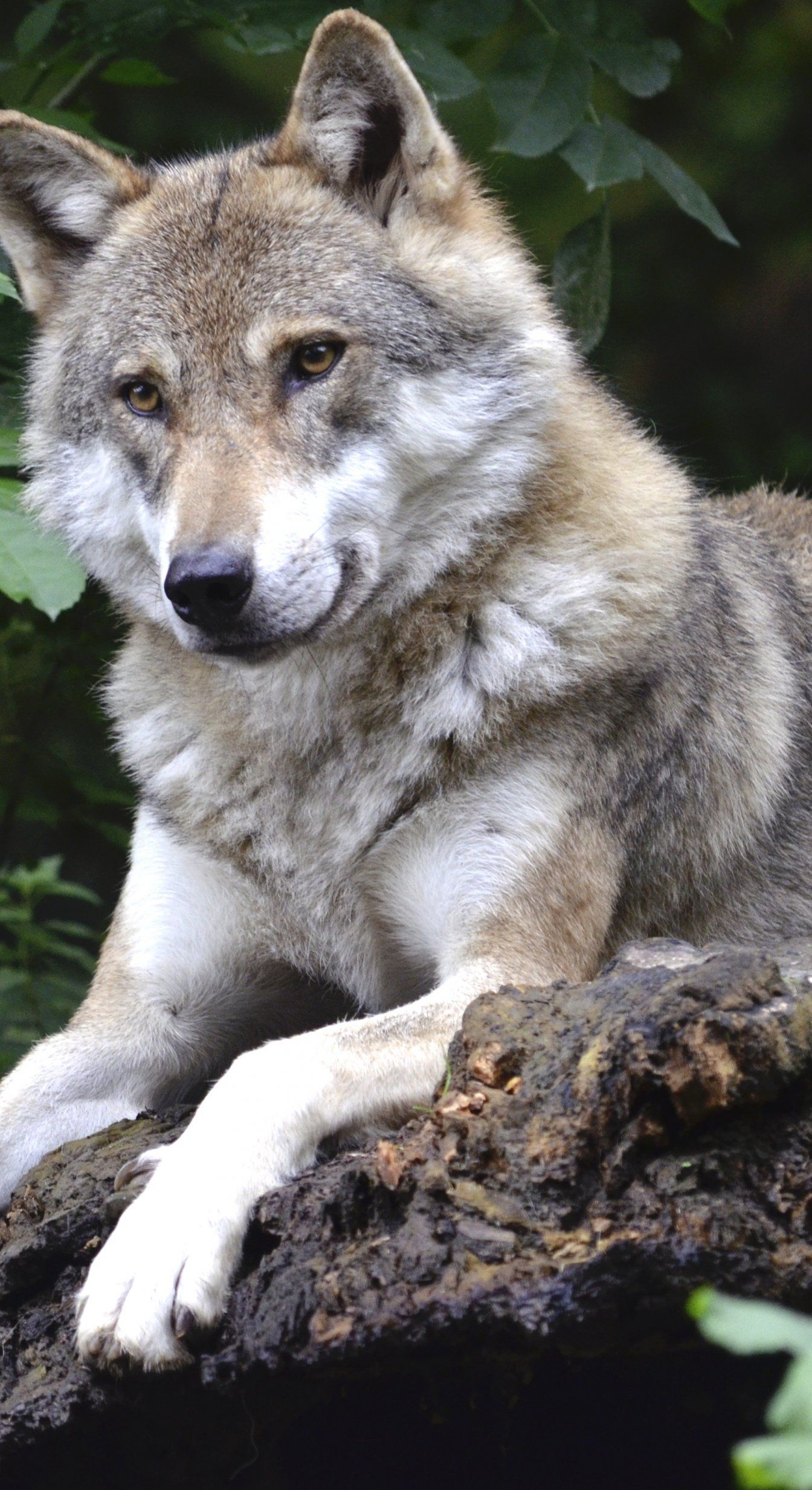 Wolf Concerns Forest Predator Canine Isegrim Pack Animal Photos 1344x2464
