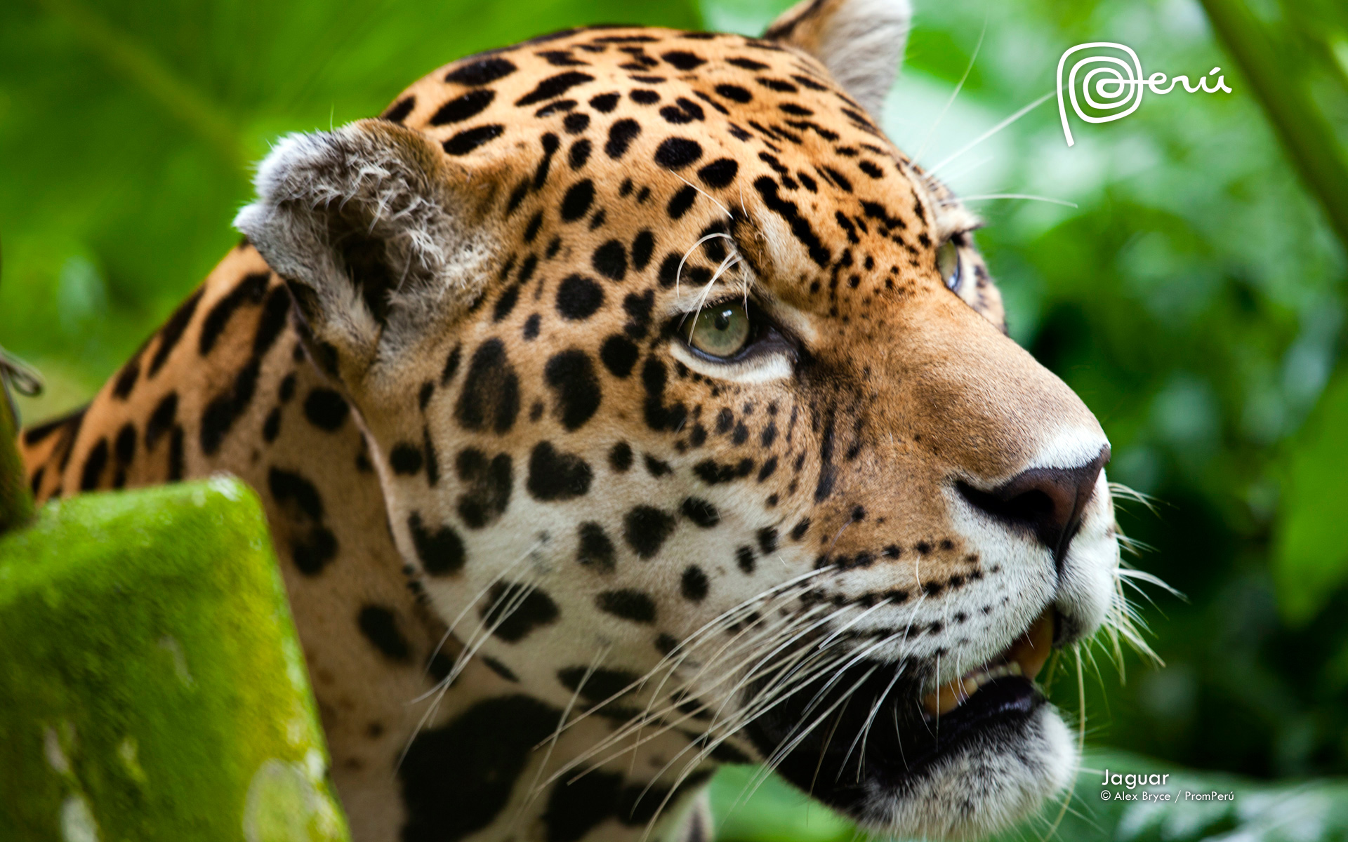 Jaguar The Big Cat Wallpapers HD Wallpapers 1920x1200