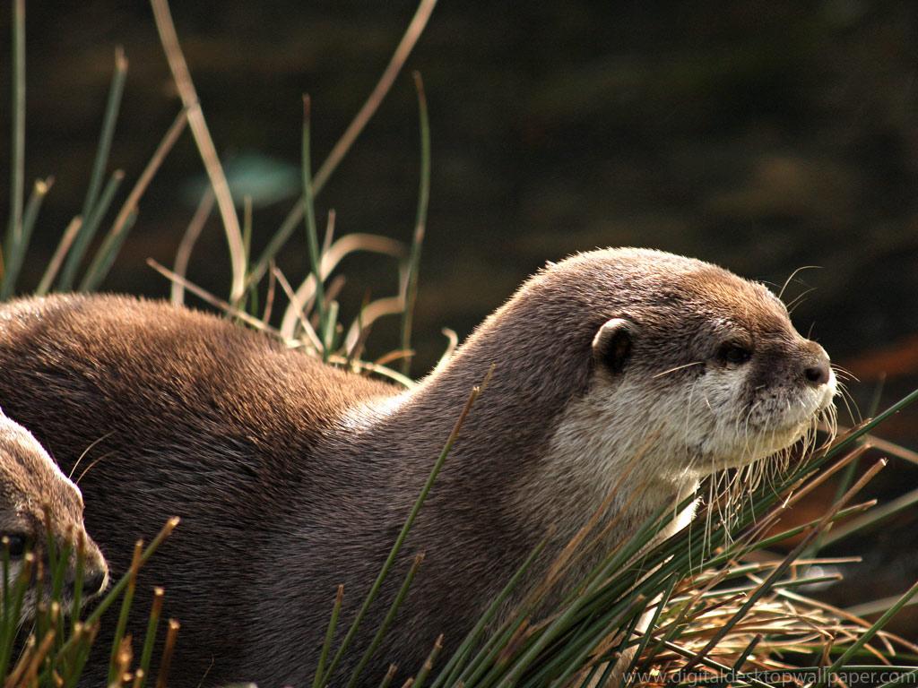 Otter river otter Otter 1600x900 of PhotoBoatsCom 1024x768