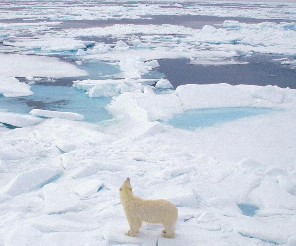 Wallpaper And Screensavers Free Polar Bears