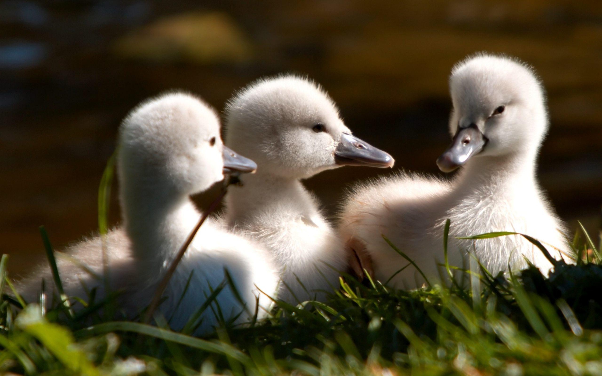 baby duck wallpaper wallpapersafari