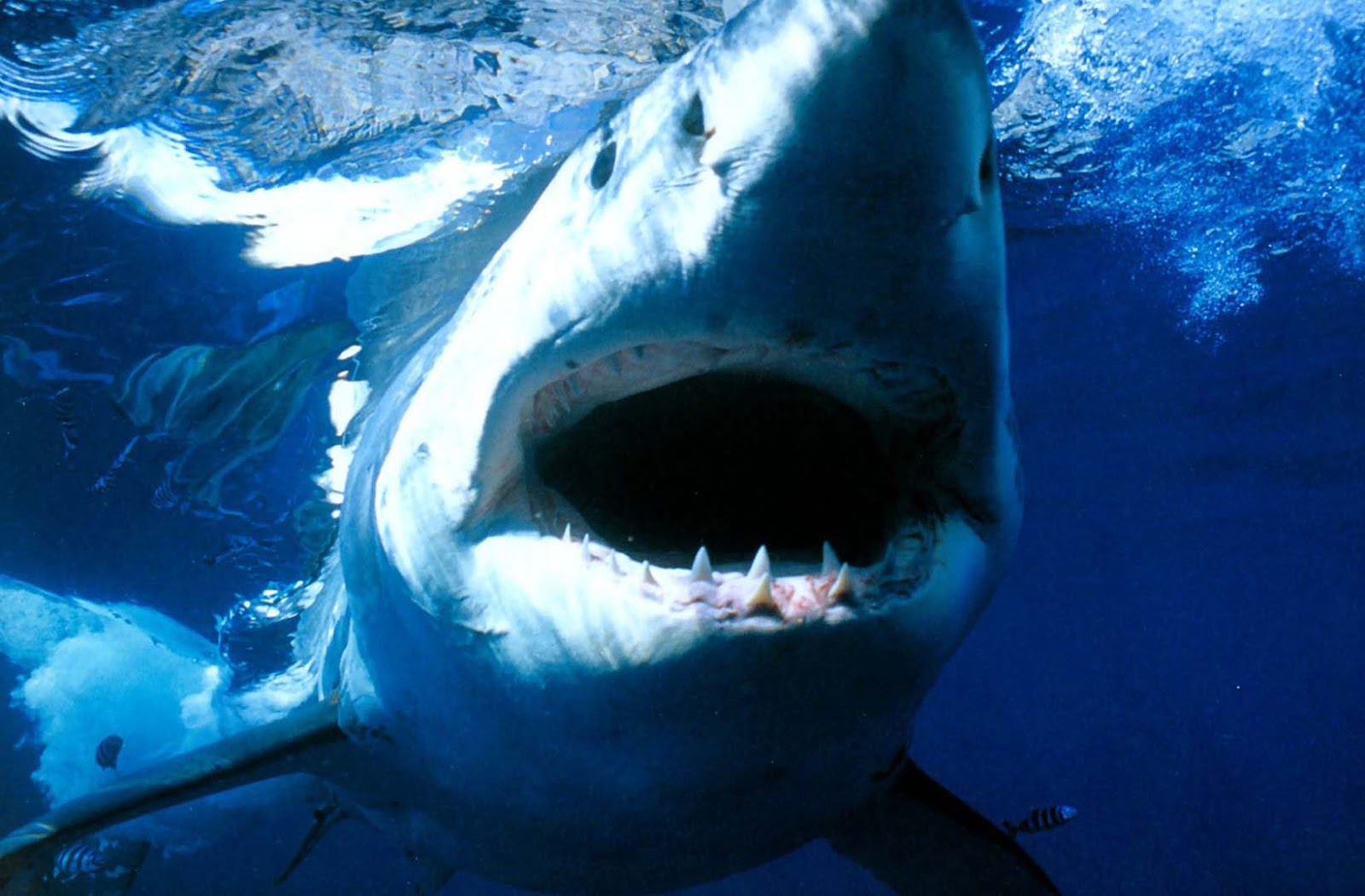 Great White Shark HD Wallpapers
