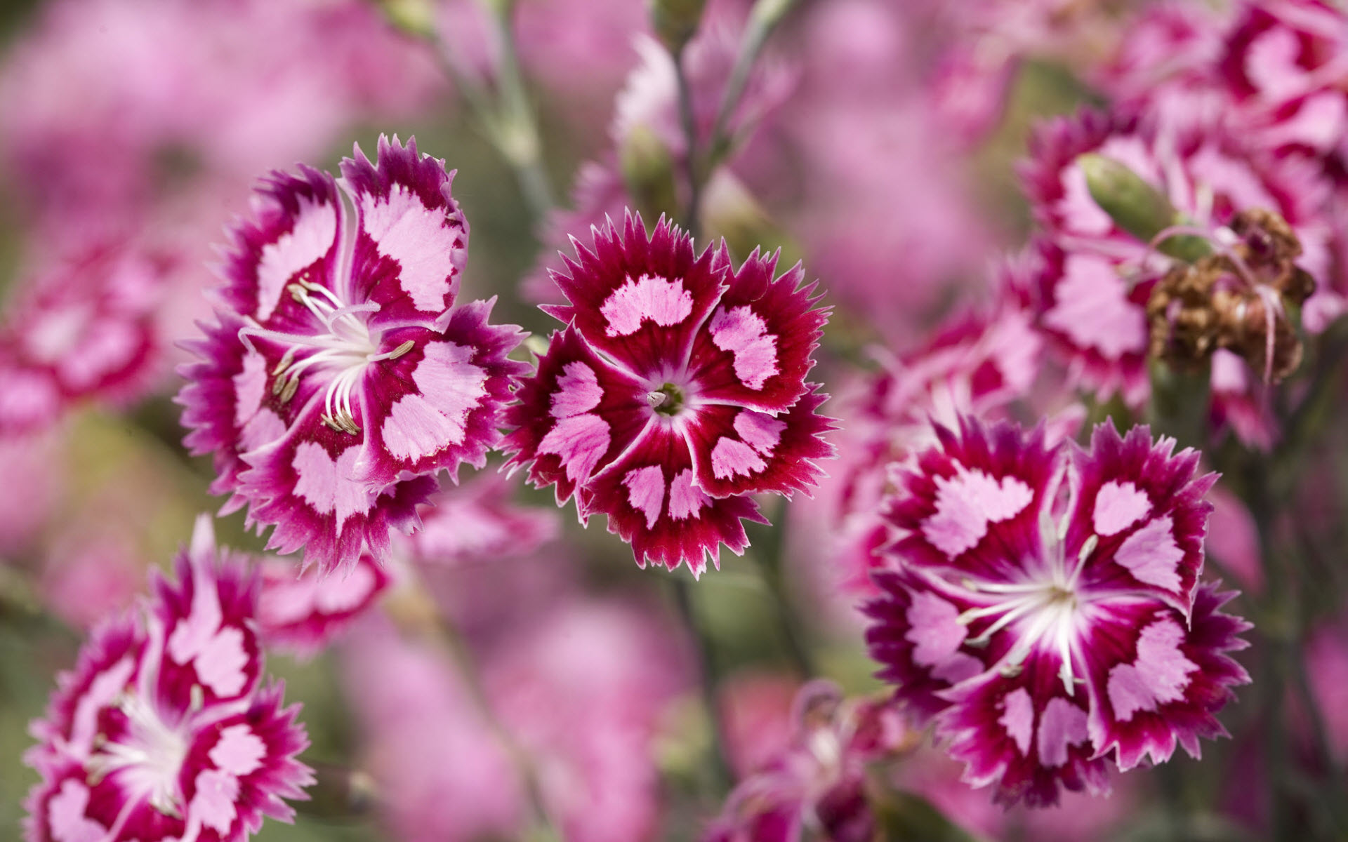 Cranberry Ice Dianthus 4206890 1920x1200 All For Desktop 1920x1200