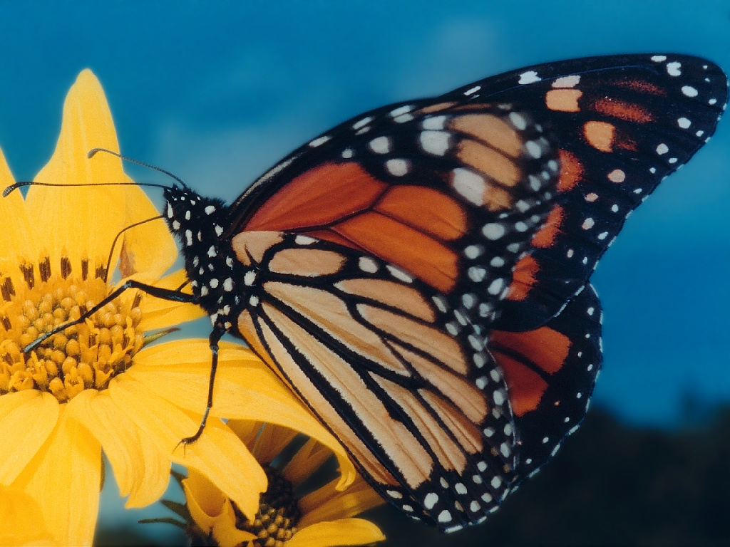 Monarch butterfly wallpaper Amazing Wallpapers 1024x768
