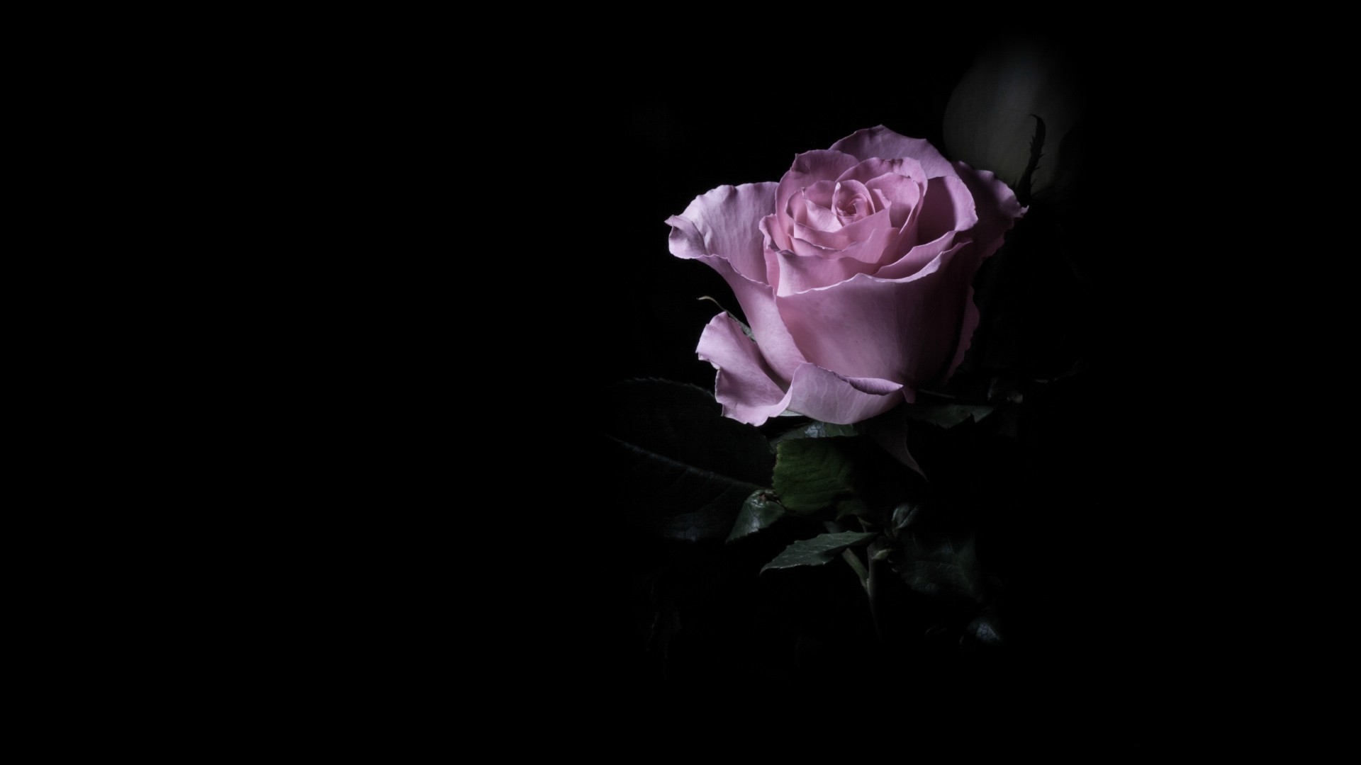 Purple rose in the dark wallpapers and images   wallpapers pictures 1920x1080