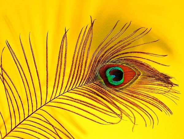 Peacock Feather Wallpapers HD Wallpapers Pictures Images 600x454