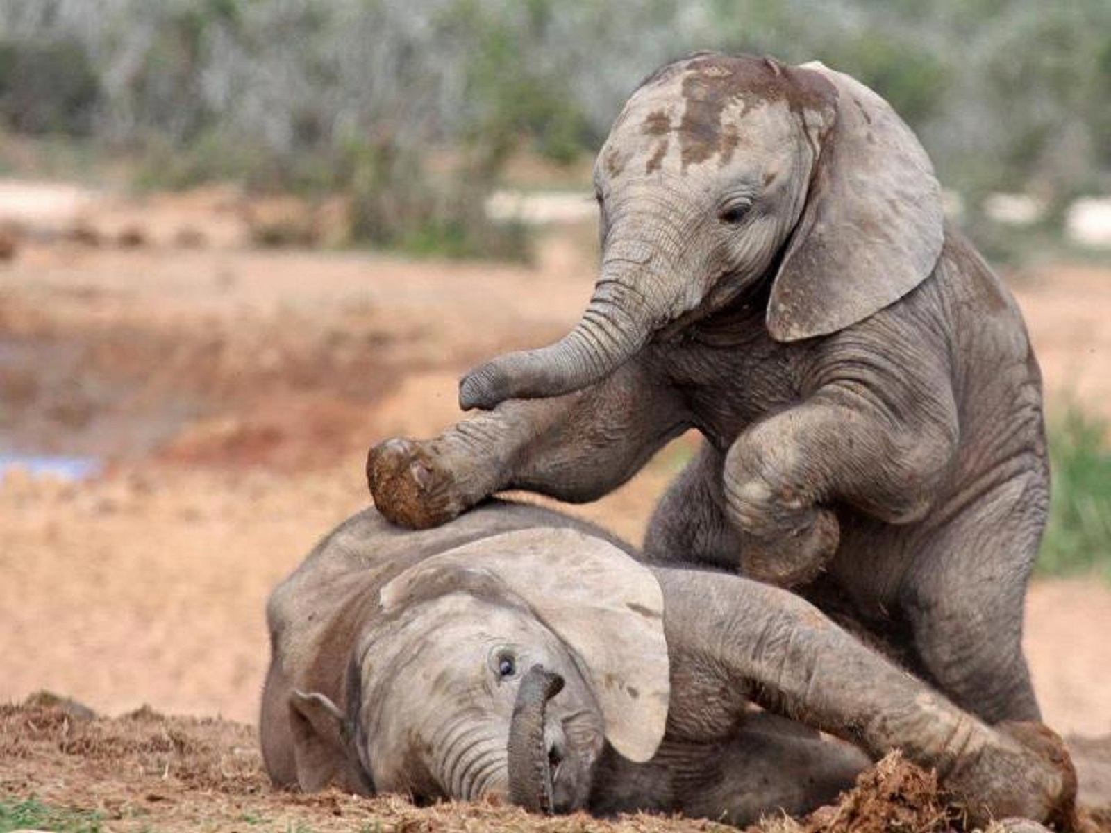25 Cute Baby Elephant Pictures 1600x1200