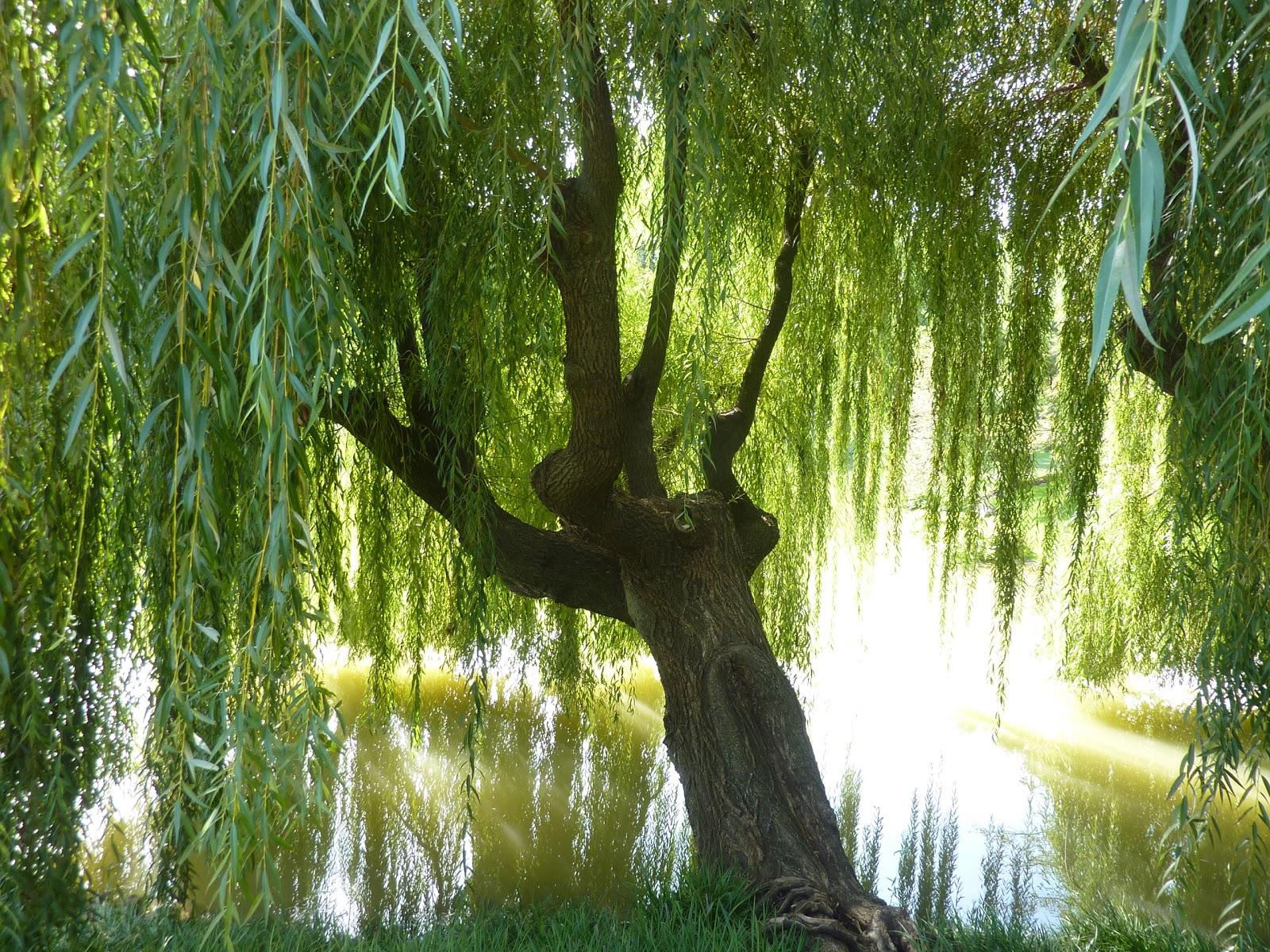 Weeping Willow Tree Wallpaper Beautiful willow tree 1600x1200