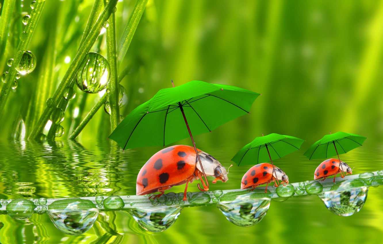Wallpaper water droplets umbrellas ladybugs a blade of grass 1332x850