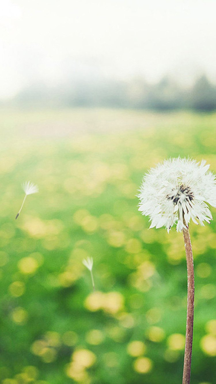 Blowing Dandelion Wallpaper Wind Blowing Dandelion Iphone 750x1334
