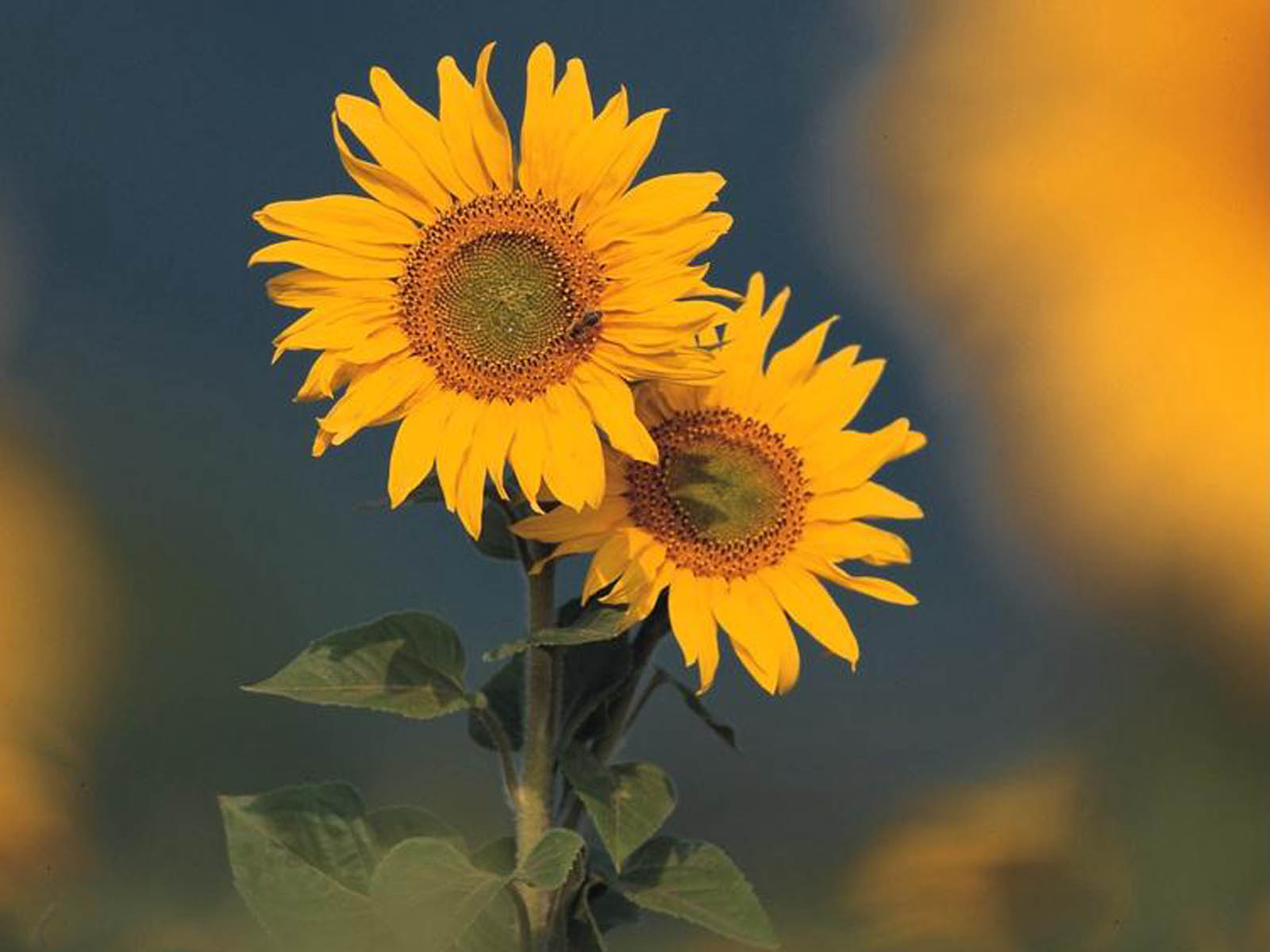 Sunflower desktop wallpaper wallpapersafari - Desktop wallpaper 1600x1200 ...