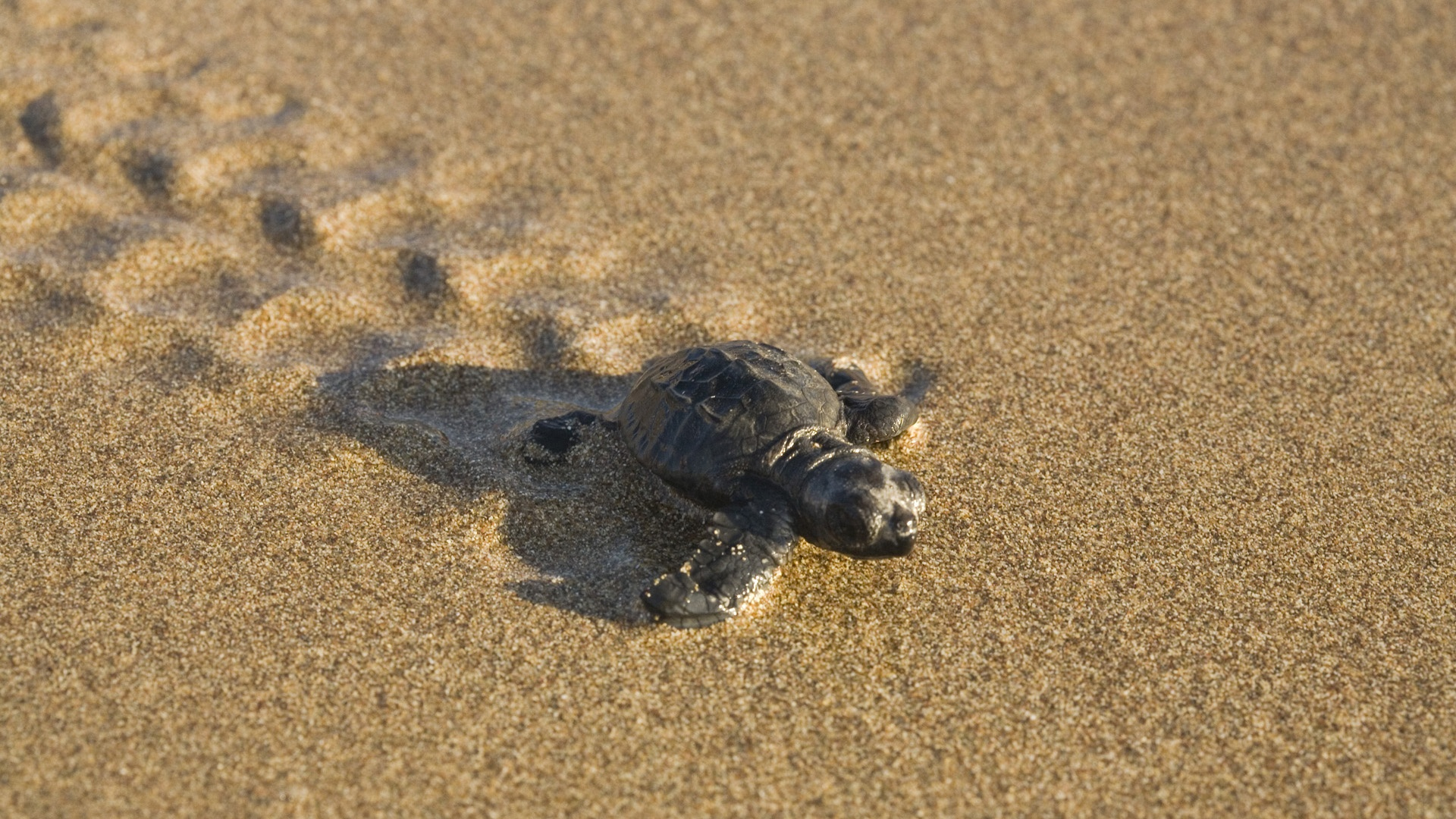 turtle on the beach Backgrounds Baby turtle on the beach HD 1920x1080