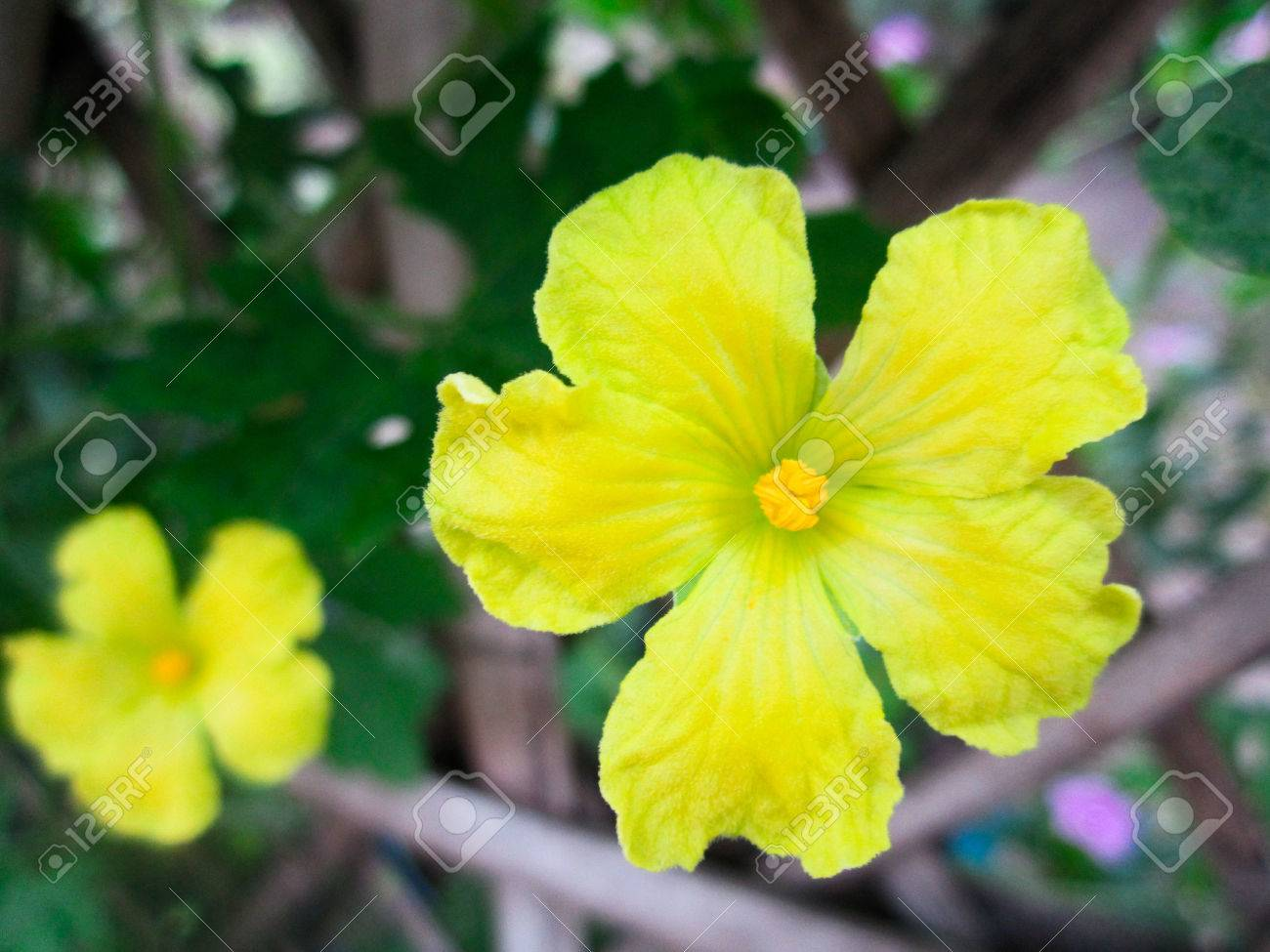 Yellow Gourd Flower Flower Wallpaper Stock Photo Picture And 1300x975