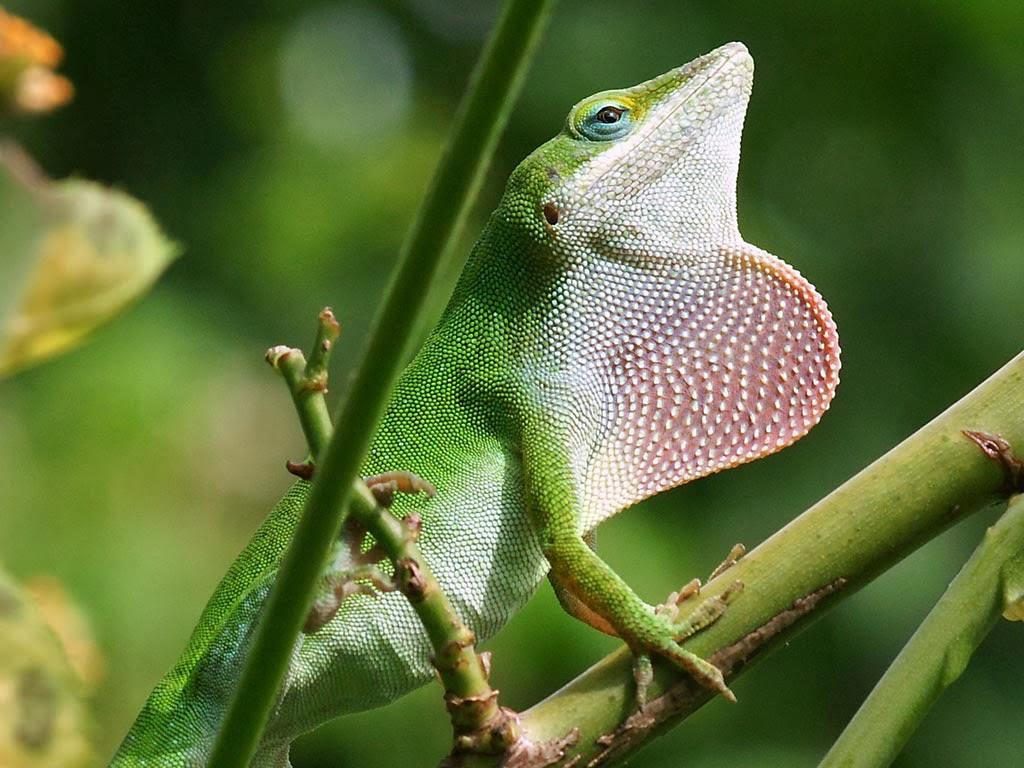 Lizard Wallpaper HD - WallpaperSafari