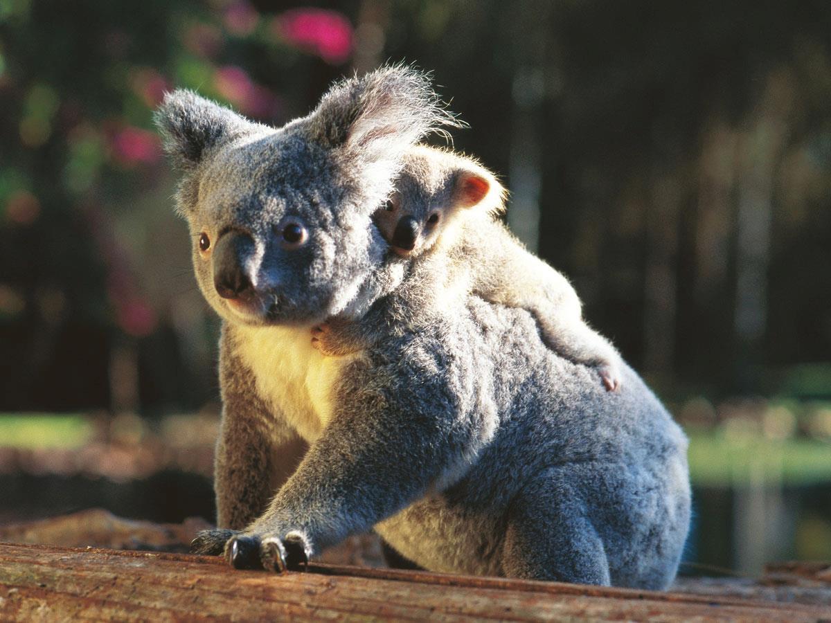 Koala   Australia Wallpaper 32220208 1200x900