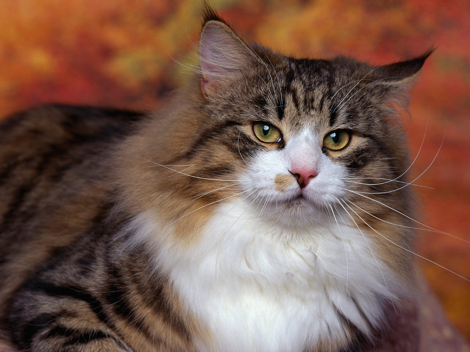 Cat Wallpaper Cute Cat Pictures Animal Desktop Backgrounds 1600x1200