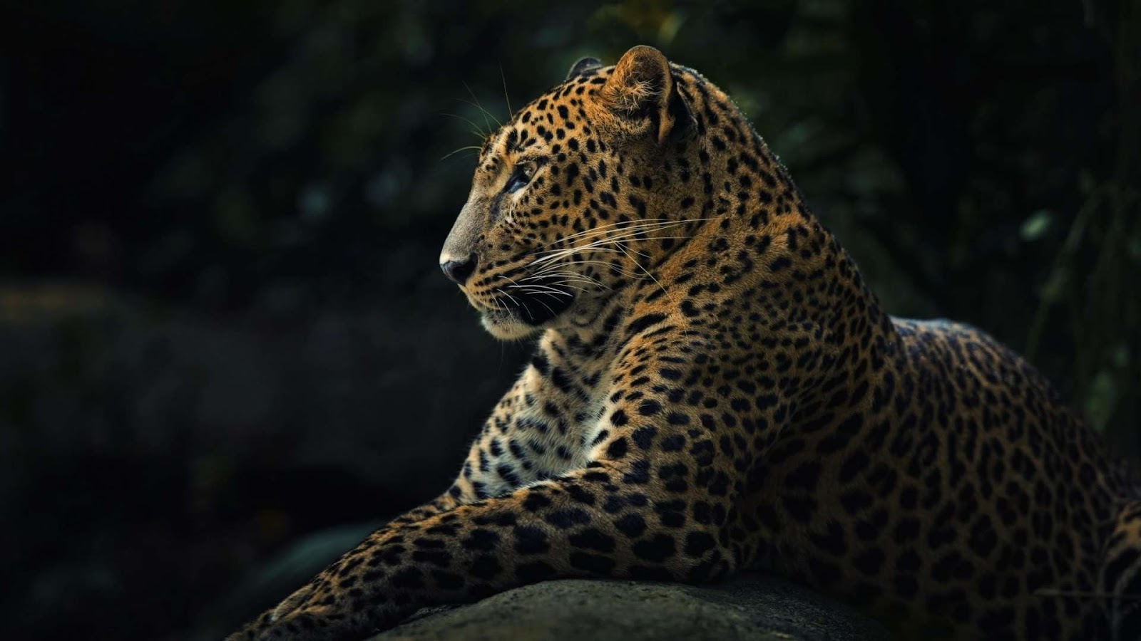 Animals Leopard Wallpapers HD Images Latest Photos 1600x900
