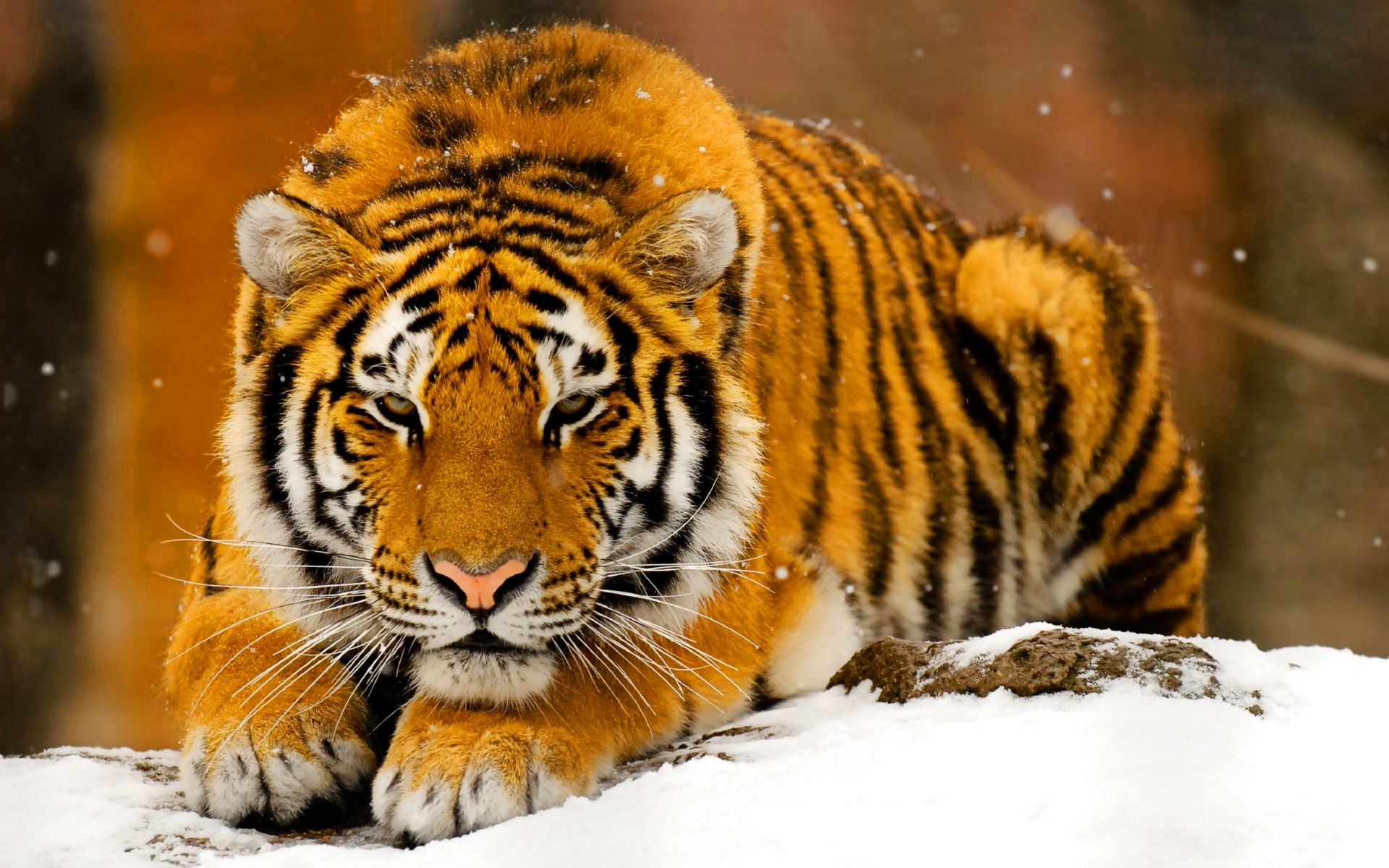 75 Hd Animals Ipad Backgrounds: Tiger Wallpaper For IPad
