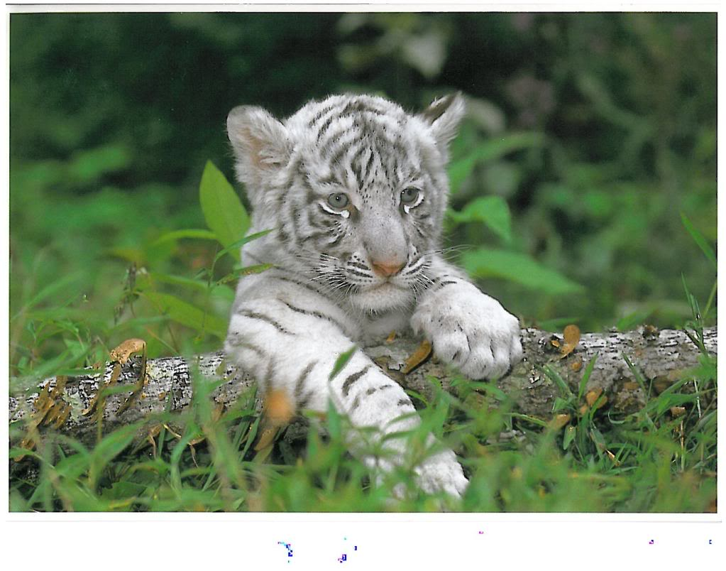 Effective White Tiger Cubs Wallpaper 1023x804
