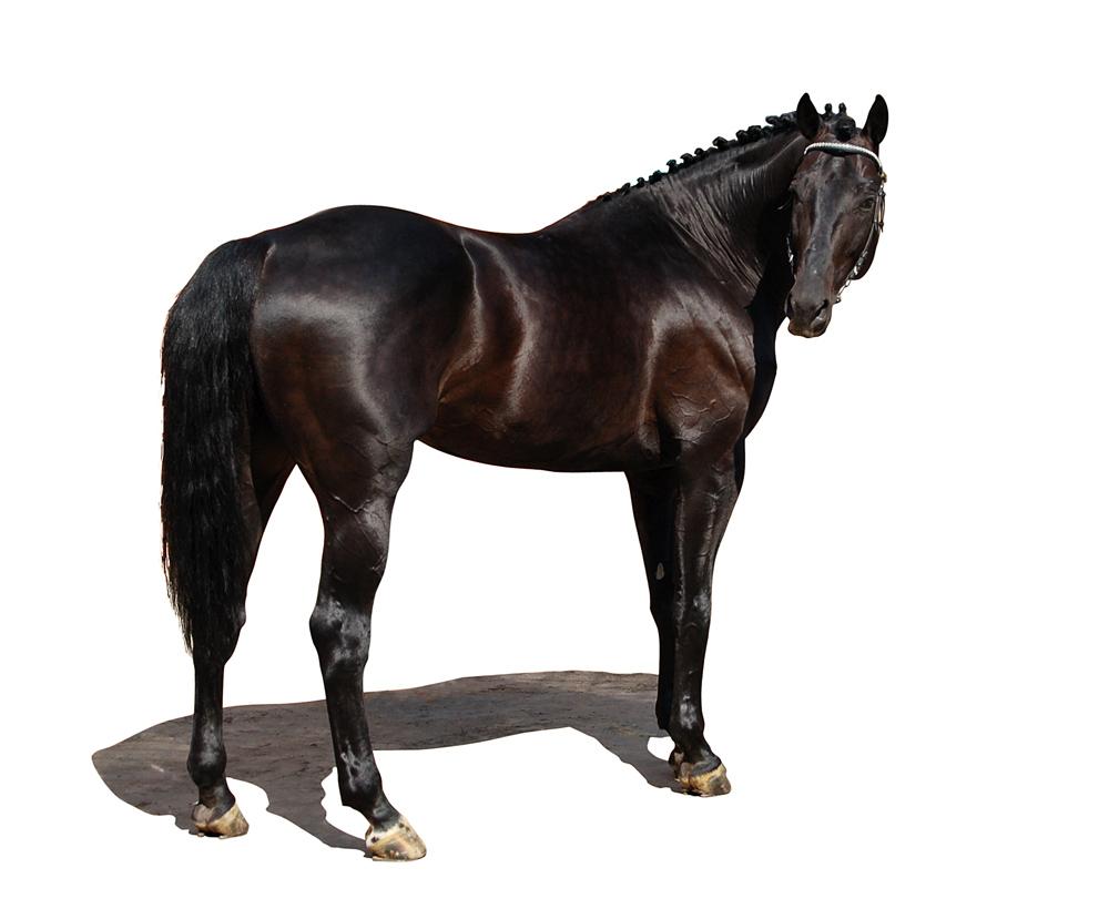 beautiful arabian horses running
