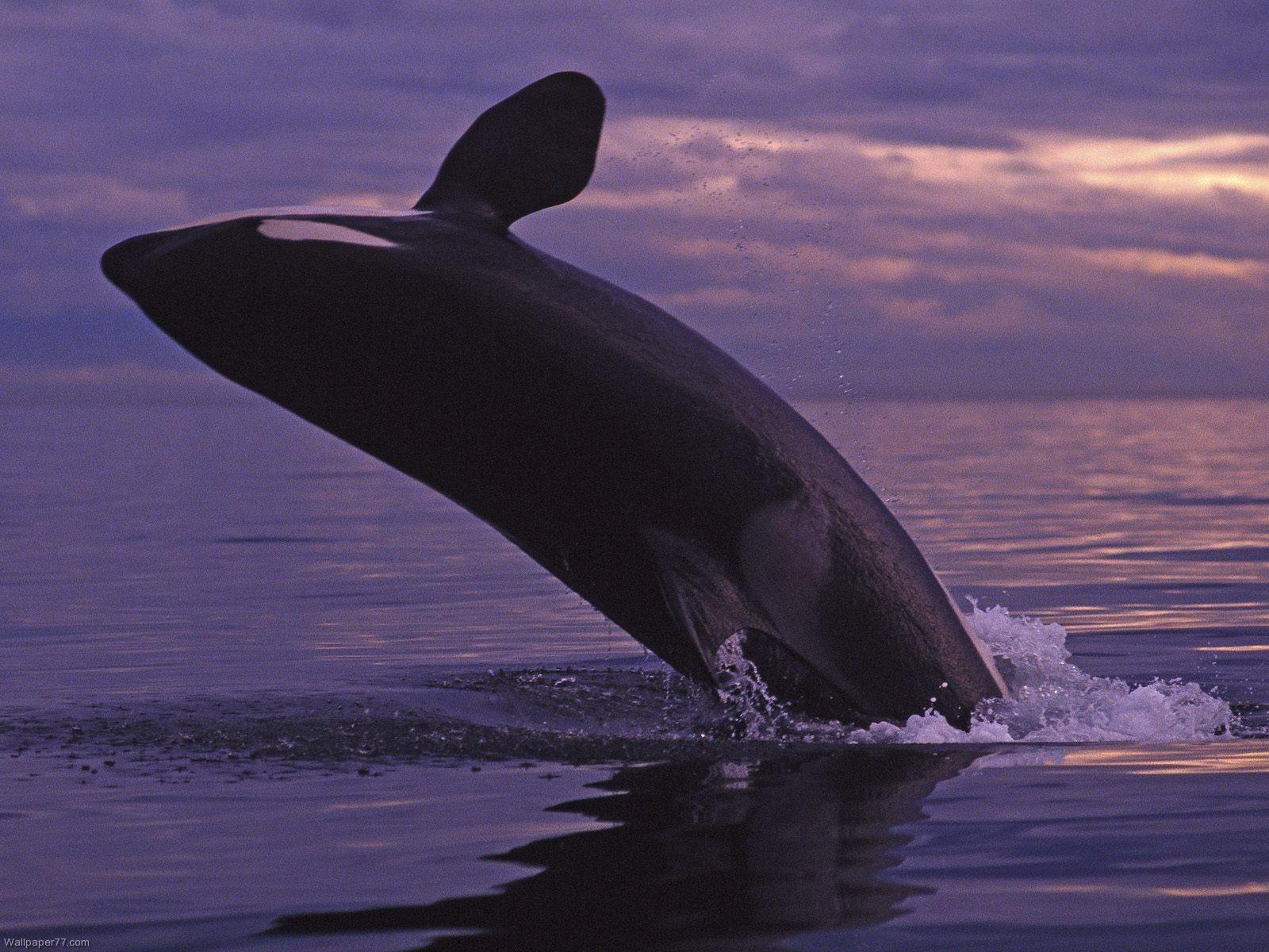 Killer Whale Jumping Mammal Wallpaper Ocean Se 10242 Wallpaper 1600x1200