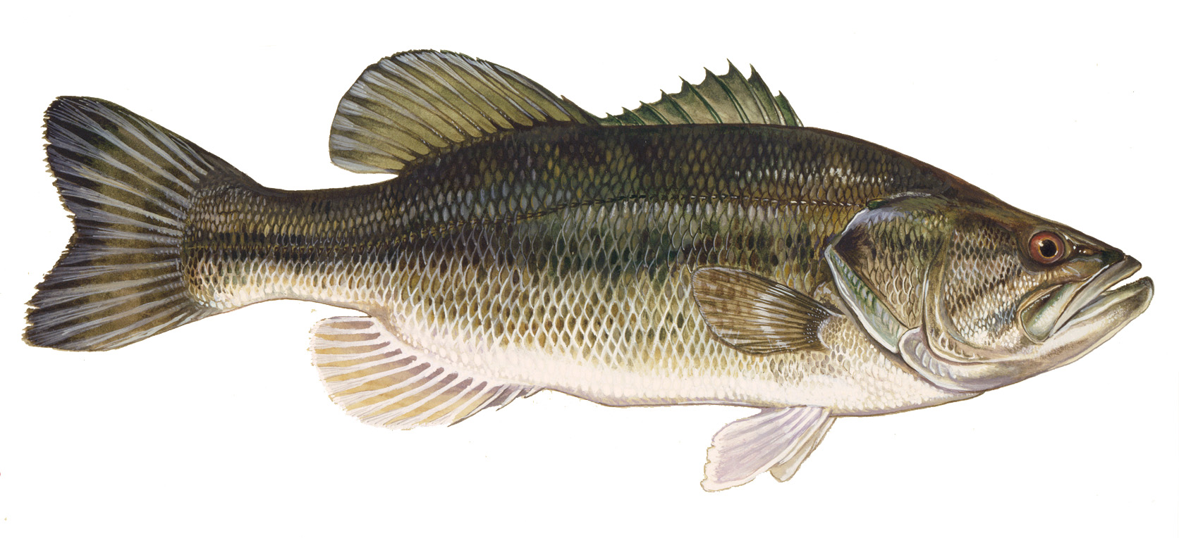 Bass fish photo and wallpaper Cute Bass fish pictures 1672x764