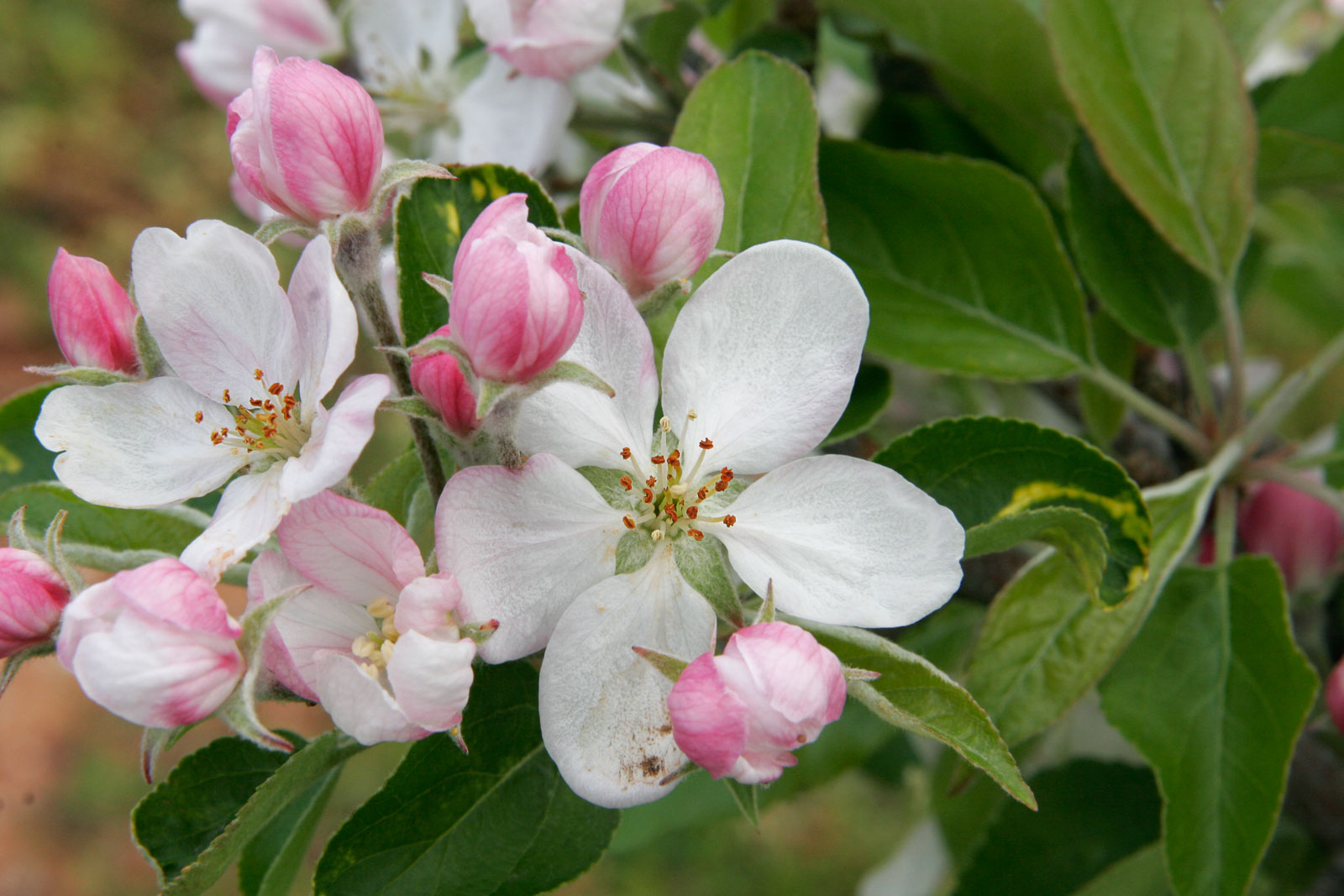 Wallpapers Apple Blossom Wallpapers 1600x1067