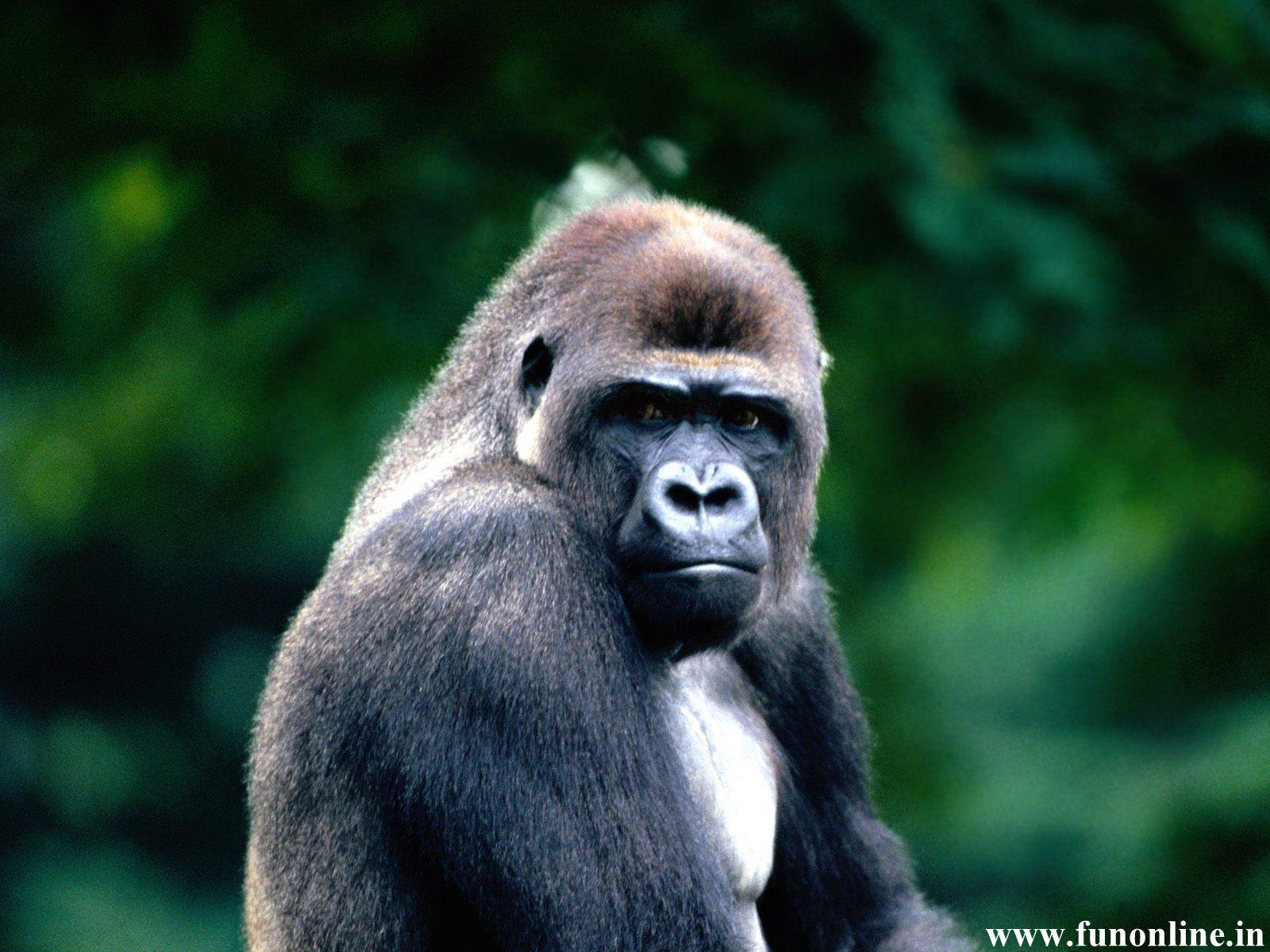 Gorilla Wallpapers Download Giant Gorillas HD Wallpaper 1600x1200