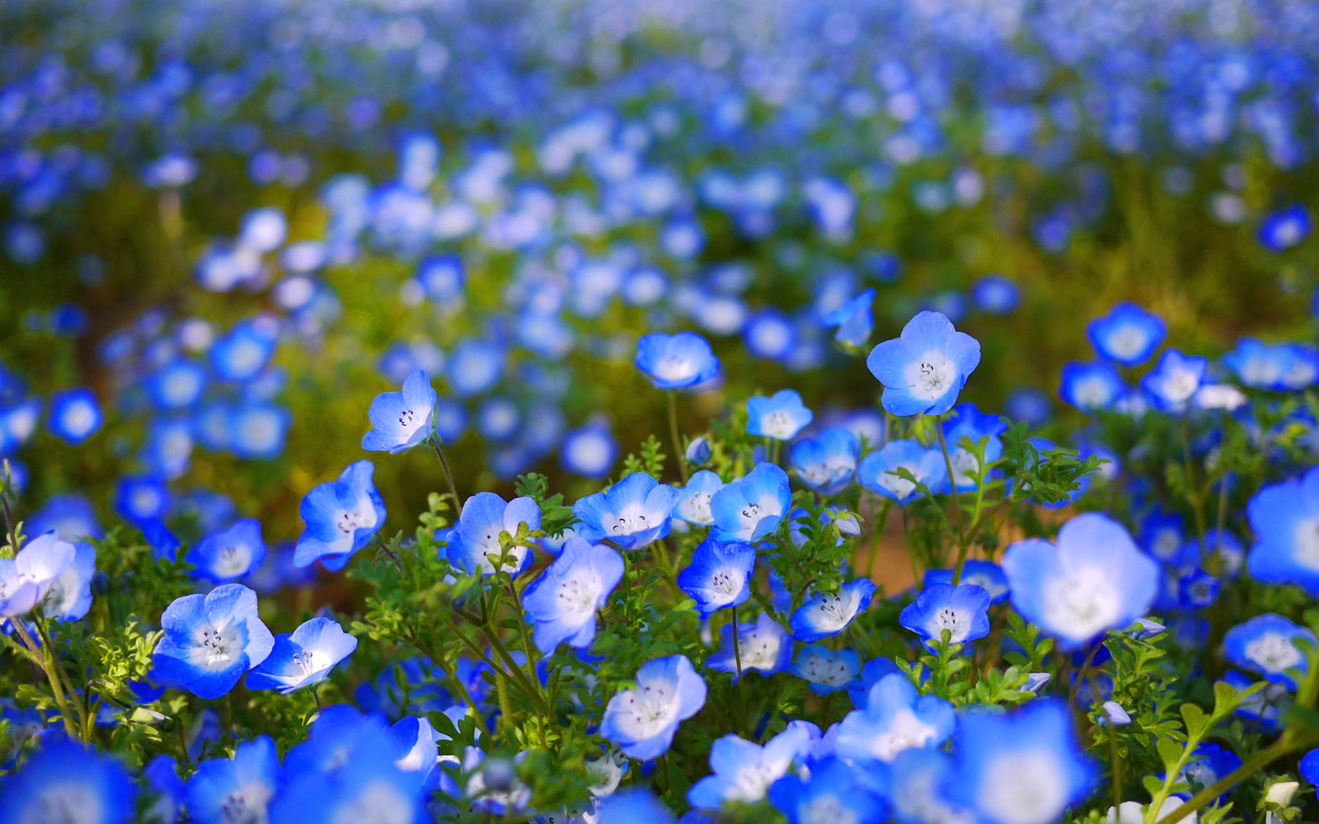 Blue Flower HD Wallpapers 1920x1200