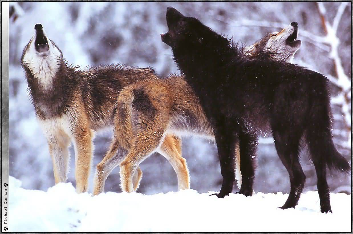 Pack of Wolves Wallpaper - WallpaperSafari