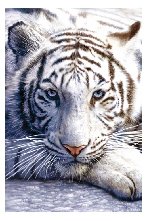 Best White Tiger Wallpapers Animal Wallpapers 511x768