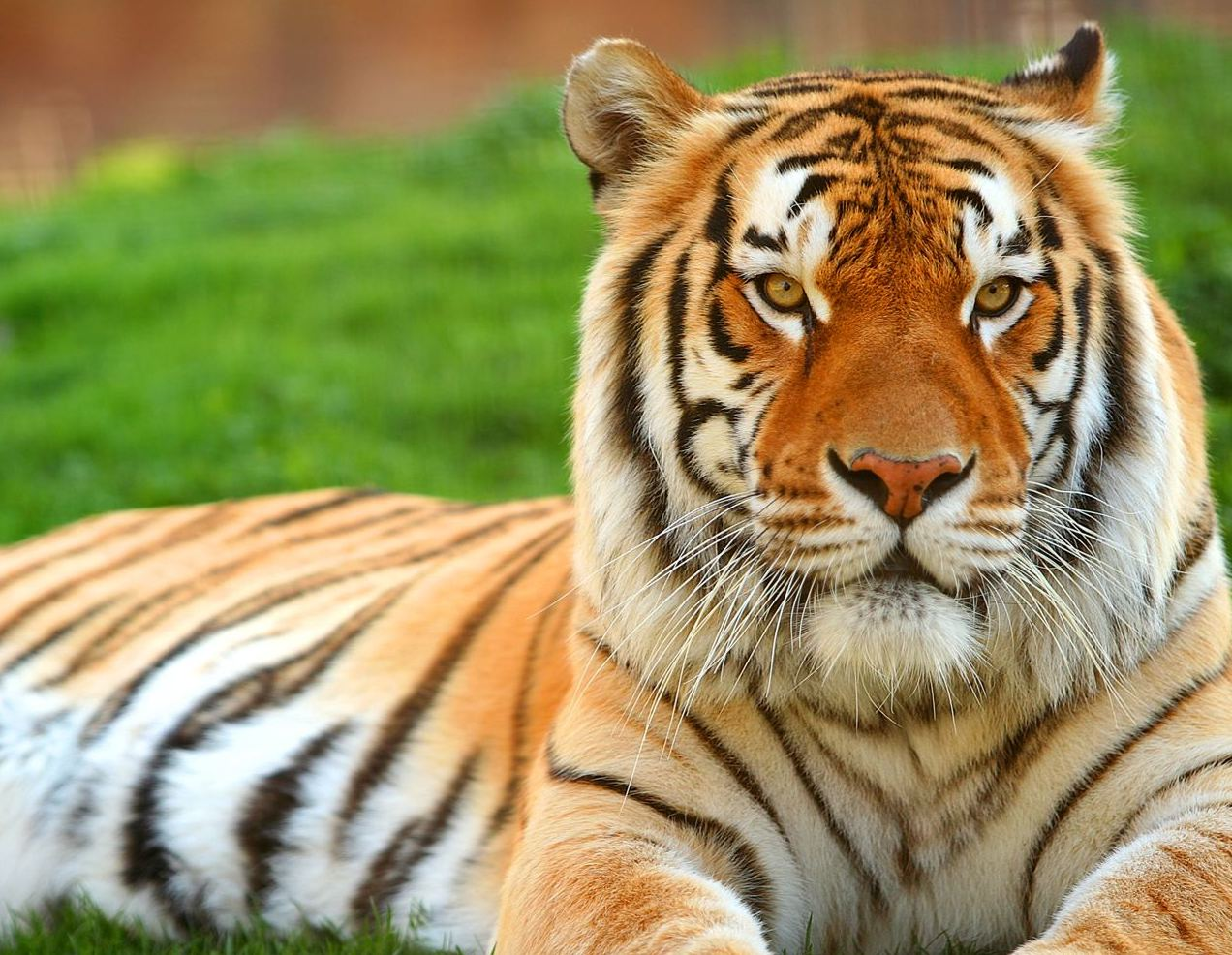 Get the best size of Tiger Wallpaper and Desktop tiger wallpapers here 1272x986