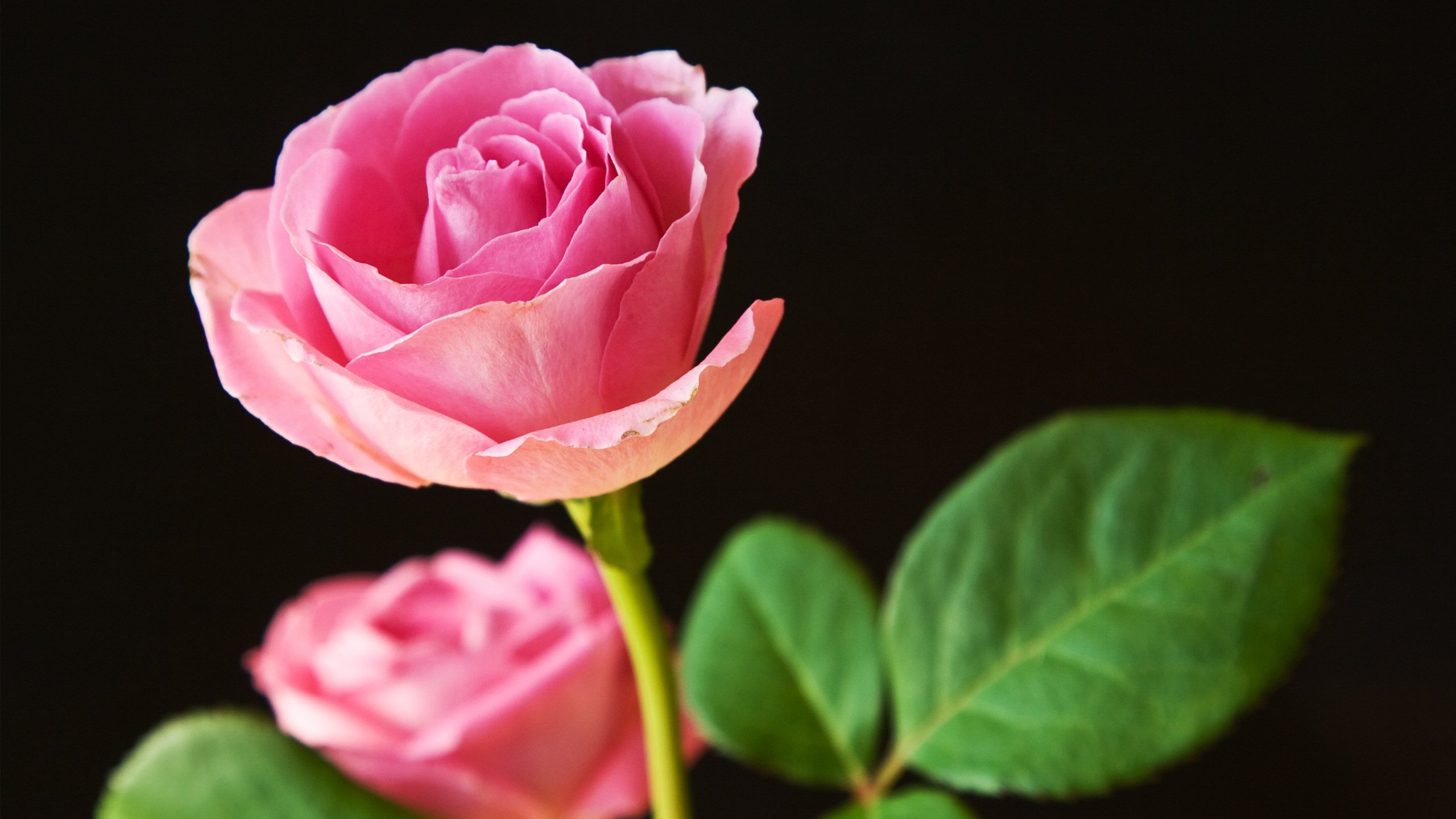 [45+] Free Desktop Wallpaper Pink Roses on WallpaperSafari