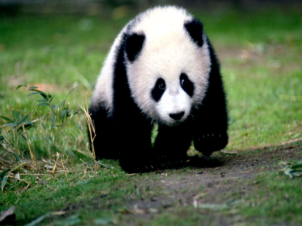 Panda Animals Backgrounds 1024x768
